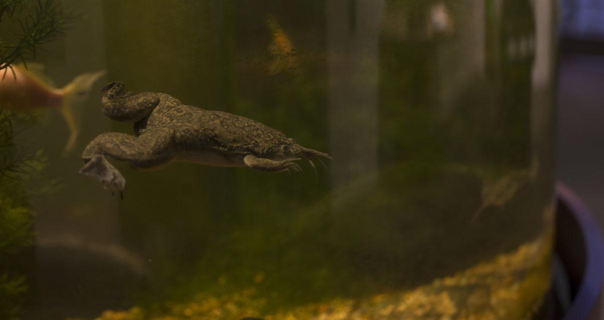 Badanie: hormon regenerujący kończyny u żaby może w przyszłości pomóc ludziom