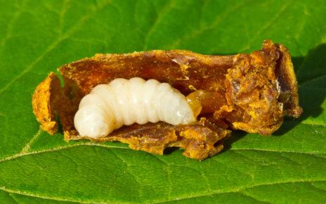 """Badanie: """"proteiny królowej pszczół"""" przedłużają żywotność komórek macierzystych"""