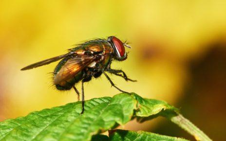 Larwy muchy pomagają skutecznie oczyszczać rany