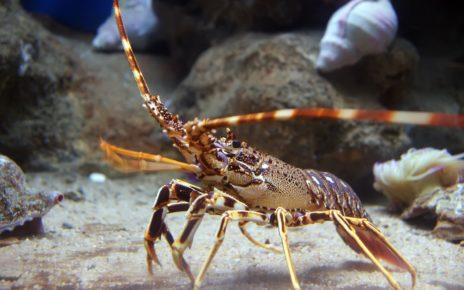 Naturalny hydrożel z błony homarów jednym z najbardziej wytrzymałych materiałów