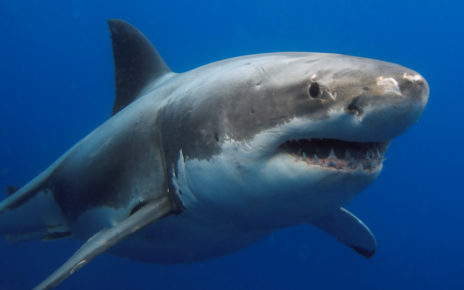 Odkrycie z USA: genom żarłacza białego może być kluczem do leczenia trudnych ran i raka