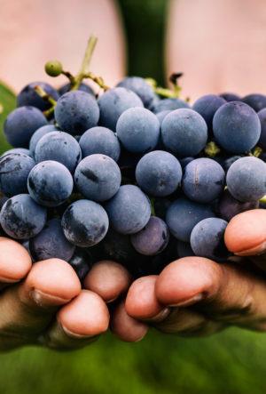Proszek z winogron może pobudzić produkcję cytokin u osób otyłych
