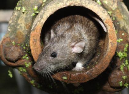 Na jakie choroby jesteśmy narażeni po ugryzieniu szczura?