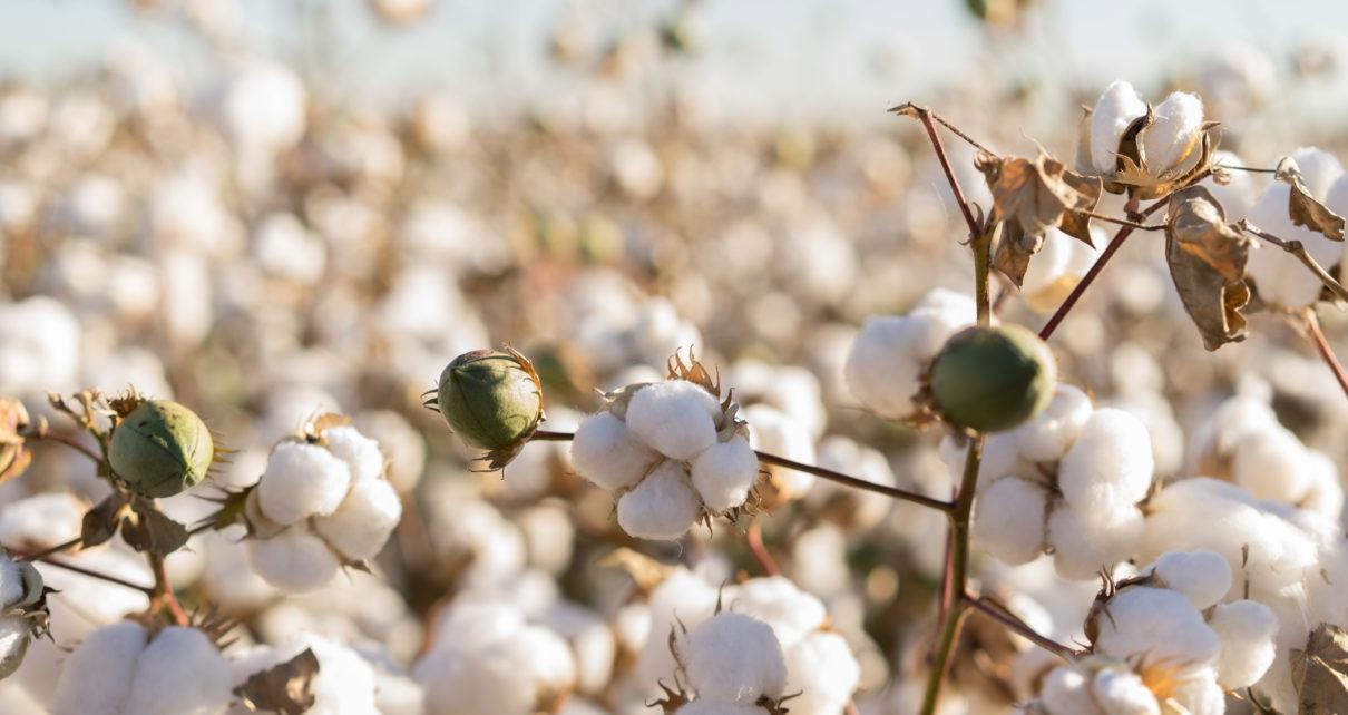 Czy łodygi bawełny przyspieszą gojenie się ran?