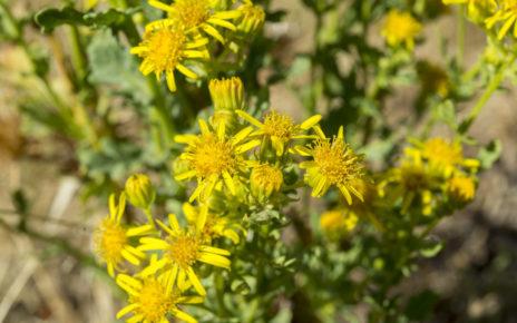 Roślina stosowana niegdyś w leczeniu ran może być niebezpieczna dla zdrowia
