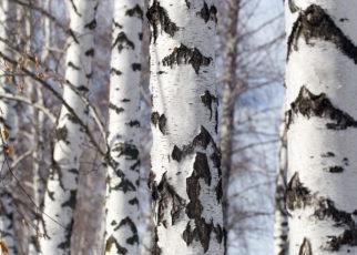 Nowy opatrunek z kory brzozy może przyspieszyć gojenie i redukować blizny